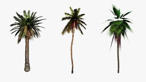 Palm trees flowing in the wind,Alpha included for easier compositing, stock footage Stock Images