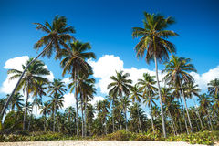 Palm trees forest on the beach of punta cana Stock Photos