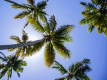Palm trees. Fronds of coconut palm trees against the sun Royalty Free Stock Photography