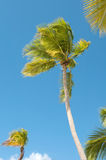 Palm Trees In Front Of Azure Skyline. Royalty Free Stock Images