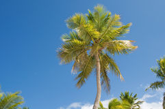 Palm Trees In Front Of Azure Skyline. Stock Photos