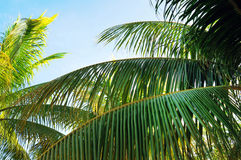 Palm Trees In Front Of Azure Skyline. Royalty Free Stock Photo
