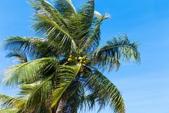 Palm trees in front of blue sky Royalty Free Stock Photos