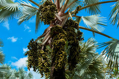 Palm trees and fruit Palm Stock Images