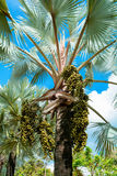 Palm trees and fruit Palm Stock Image