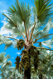 Palm trees and fruit Palm Royalty Free Stock Photography