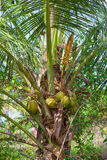 Palm trees with the fruits of the King Coconut Royalty Free Stock Photo