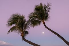 Palm Trees and Full Moon. On a Maui beach at sunrise Royalty Free Stock Photos