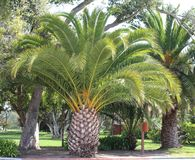 Palm trees. In garden, California Royalty Free Stock Photo
