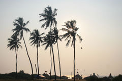 Palm Trees on Goan Beach. With sun setting behind tree Royalty Free Stock Photos