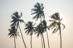 Palm Trees on Goan Beach. With sun setting behind tree Royalty Free Stock Image