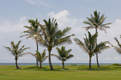 Palm trees on golf course. Tropical palm trees on golf course fairway with ocean in background Royalty Free Stock Photography