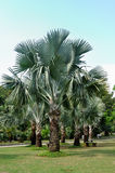 Palm trees and grass land Royalty Free Stock Image