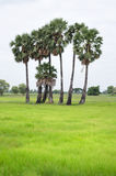 Palm trees in green field Royalty Free Stock Photography