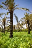 Palm trees in green grass Stock Image