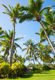 Palm trees and green grass, Dominican republic Stock Photography