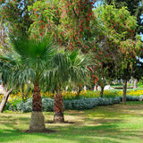 Palm trees and green lawn Stock Images