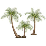 Palm trees with green leaves. And stones Royalty Free Stock Images