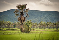 Palm trees on a green rice field Stock Image