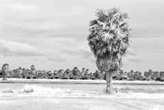 Palm trees on a green rice field Royalty Free Stock Images