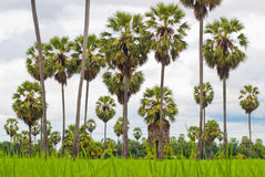 Palm trees on a green rice field Royalty Free Stock Photography