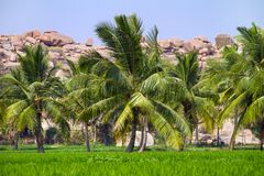 Palm trees at the green rice field Stock Photos