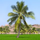 Palm trees at the green rice field Royalty Free Stock Images