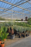 Palm trees in greenhouse Stock Photo