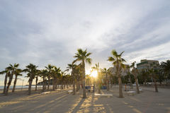 Palm trees. Group of palm trees on the beach of La Concha (Oropesa del Mar - Castellon Stock Photo