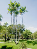 Palm trees. A group of palm trees stands in a public park Stock Photography