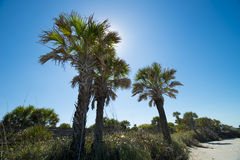 Palm trees. Grouping of three palm trees at the beach. blue skies and sun behind one of the palm trees Royalty Free Stock Photos