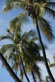 Palm Trees. Growing near Lahaina on the island of Maui, Hawaii, USA Stock Image