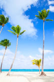 Palm trees growing on sandy beach. Coast of Atlantic ocean Royalty Free Stock Image