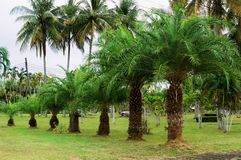 Palm trees growing from small to high. In garden Royalty Free Stock Images
