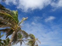 Palm trees of Guadeloupe stock image