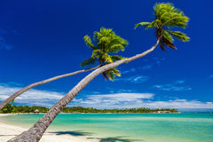 Palm trees hanging over stunning lagoon on Fiji Islands. Palm trees on the beach hanging over lagoon on Fiji Islands Stock Images