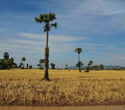 Palm trees on the harvesting field in Ha Tien, Vietnam Royalty Free Stock Photography