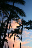 Palm trees in Hawaii. Palm trees at sunset in Hawaii Royalty Free Stock Photos
