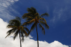 Palm trees in Hawaii Royalty Free Stock Photography