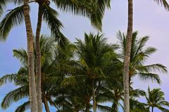 Palm trees Hawaii Royalty Free Stock Photo