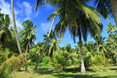 Palm trees, heaven, coconuts Royalty Free Stock Photos