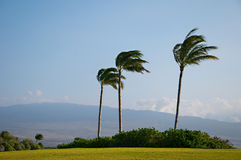 Palm Trees High Winds Stock Photography