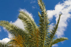 Palm trees. Royalty Free Stock Photos