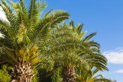Palm trees. Stock Image