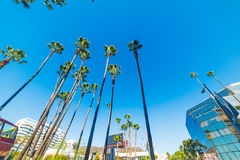 Palm trees in Hollywood Boulevard stock photography