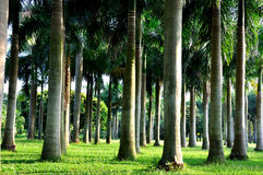 Palm trees horizontally. Plam trees with variegated shadow, under sun shine in morning after sun raising in grass land Royalty Free Stock Photos