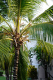 Palm trees in Hotel Grounds. Beautiful Palm trees in the grounds of a caribbean Hotel Royalty Free Stock Photography