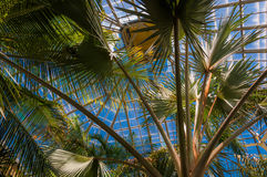 Palm trees in the Howard Peters Rawlings Conservatory, in Druid Royalty Free Stock Photos