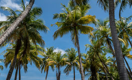 Palm trees in tropical island Royalty Free Stock Image