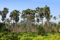 Palm trees in India Stock Photo